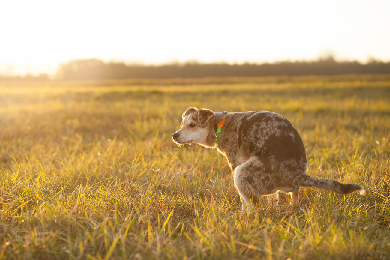 A dog defecating in a field with the sun setting behind