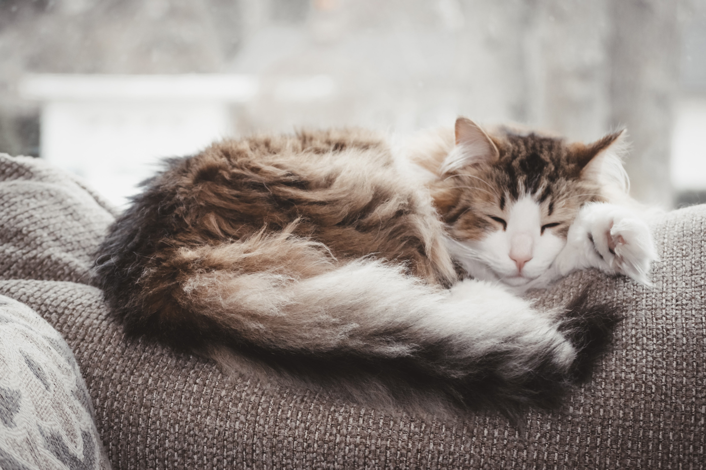 A fluffy older cat laying on the back of a sofa sleeping